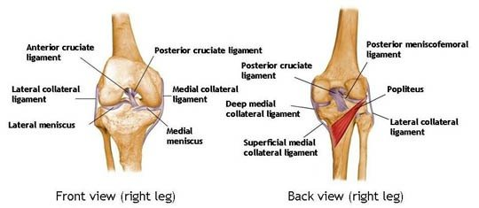 Knee anatomy vitality plus australia all the while the posterior and anterior cruciate ligaments pcl and acl limit forward motion of the knee bones thus keeping them stable ccuart Image collections