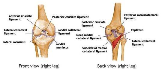 Knee Anatomy Vitality Plus Australia